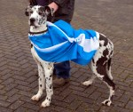 Dog wearing a saltire flag with the canvassing team in Irvine